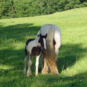 Drum Horse Genivee out of OMF's Bonny adn CM Guinness