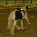 Apollo, Drum Horse, working