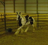 Apollo working in side reins