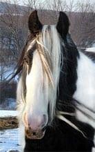 Gypsy Horse mare, Bonny. Winter of 2003