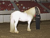 Boromir and Rhonda line up for the judge at the Ohio State Gypsy Vanner Horse show, Aug 2005