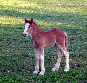 Clydesdale Filly, Dallis out of Old Mill Farm's Clydesdale mare, Lady.