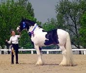 Chew Mill Guinness, first Drum Horse to enter the states!