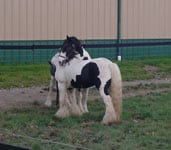 Gypsy Horse Slainte and Drum Horse Guinness, out for a play date!