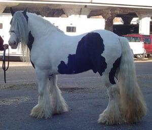 Gypsy Horse, Gypsy Vanner Stallion, Slainte. Equine Affaire Ohio, 2005