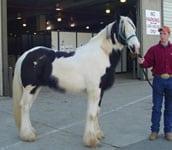 Drum Horse colt, Apollo Equine Affaire Ohio 2005