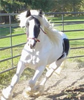 Boromir, Gypsy Horse gelding one week after coming over from England.