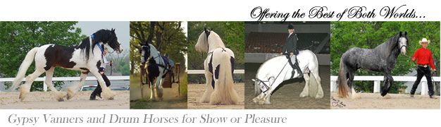 Gypsy Horses, Gypsy Vanners, Drum Horses, Breeding and horses for sale. Horses in order from Left to Right...CH Guinness, Genivee, CH Slainte, CH Cobalt and Killian