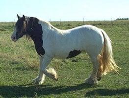 Gypsy Horse mare, Shona