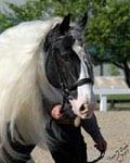 Gypsy Vanner Stallion, Cobalt