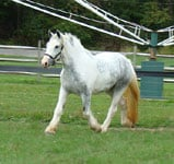 Drum Horse filly Thistle, (Chew Mill Guinness x Blue Bell)