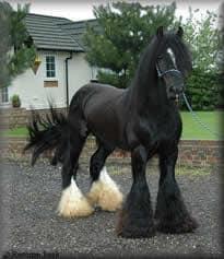 Drum Horse Stallion, Chew Mill Guinness